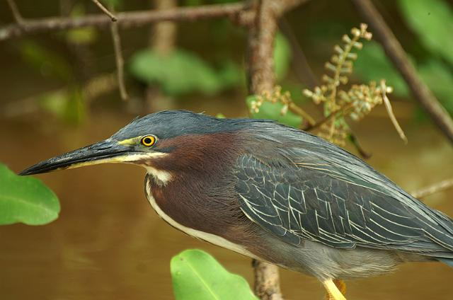 costa rica oiseaux birds of costa rica green heron pict4880 f. Black Bedroom Furniture Sets. Home Design Ideas