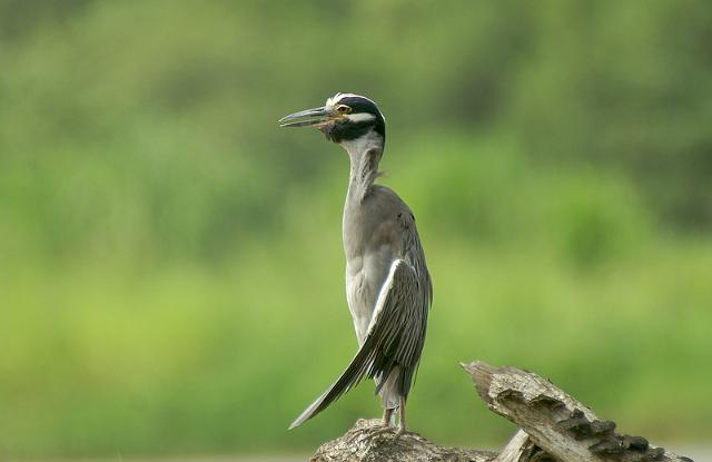 Yellow-crowned Night-H...