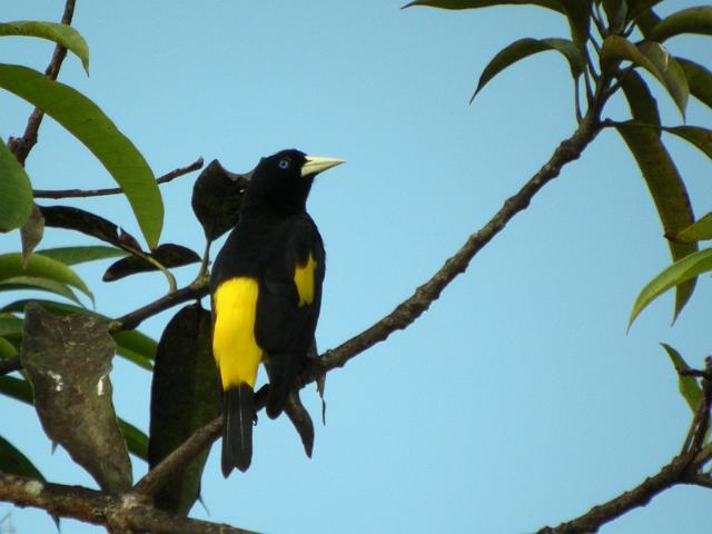 Oiseaux de guyane birds of french guyane yellow rumped for Oiseau jaune et noir